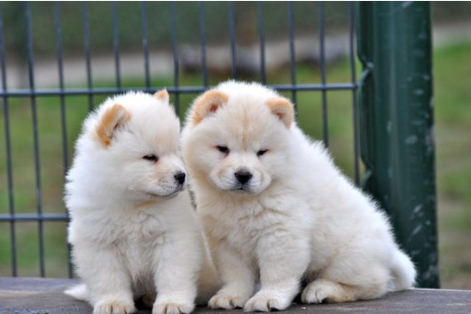 Lovely Chow chow puppies for adoption to any lovely Home avialable.
