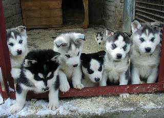 free to good home Sakhalin husky puppies