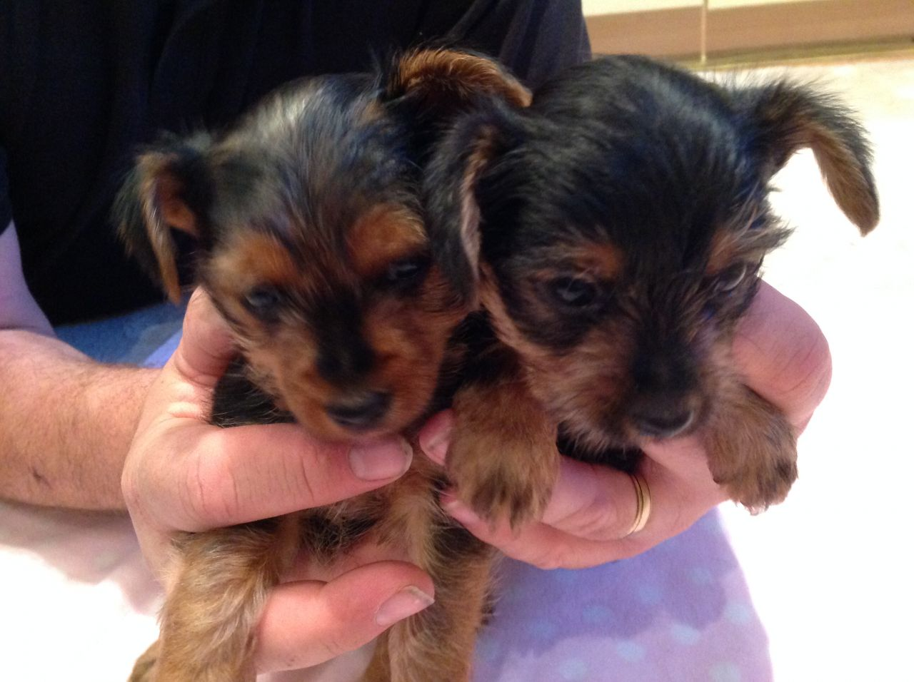 Adorable Yorkshire Terrier Pups