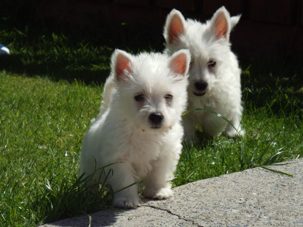 Beautiful West Highland Terrier Puppies
