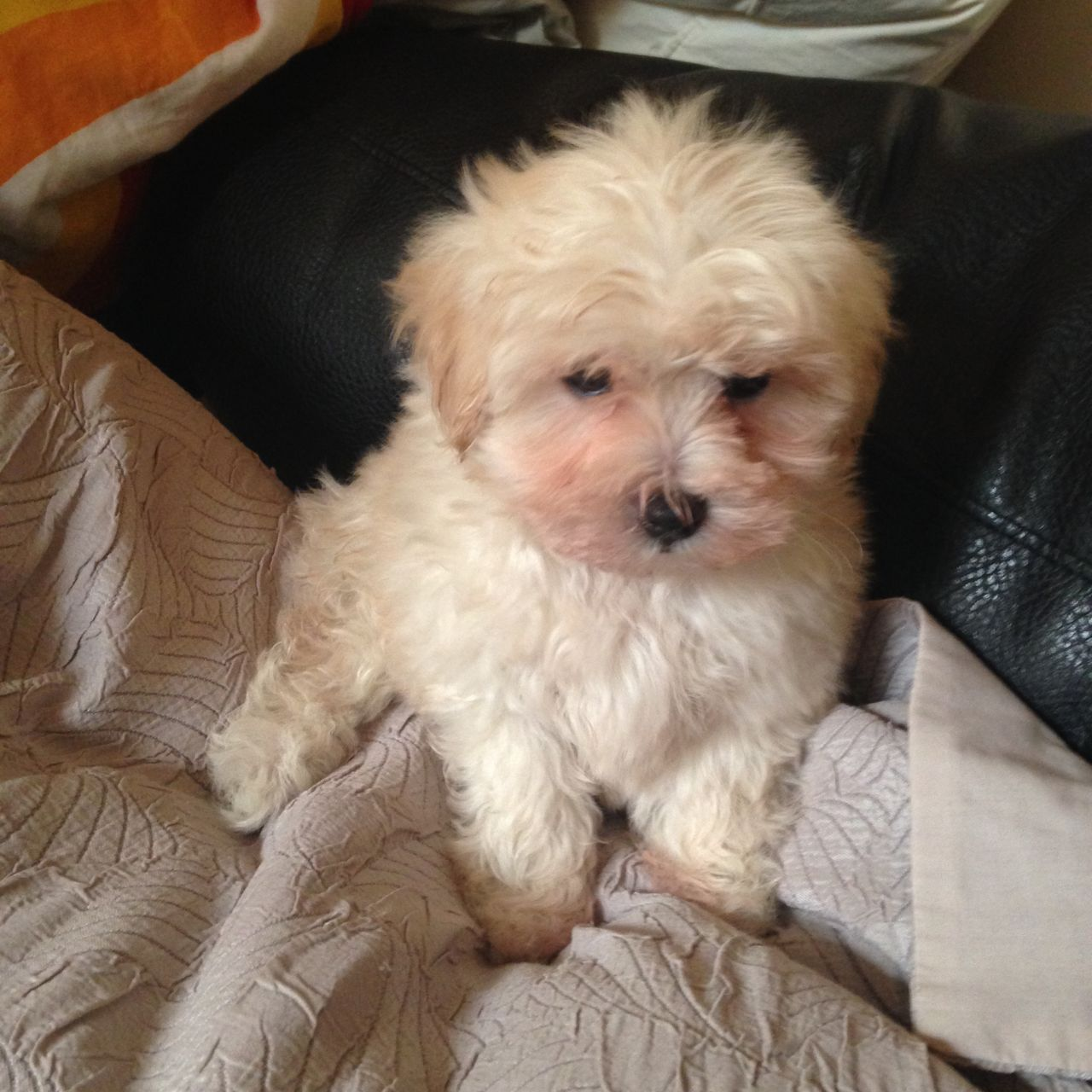Maltipoo Pups Girls And Boy