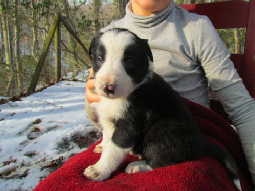 Beautiful Collie Pups For Sale - Ready Now