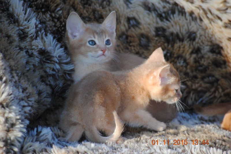 Lilac-fawn Abyssinian Babies