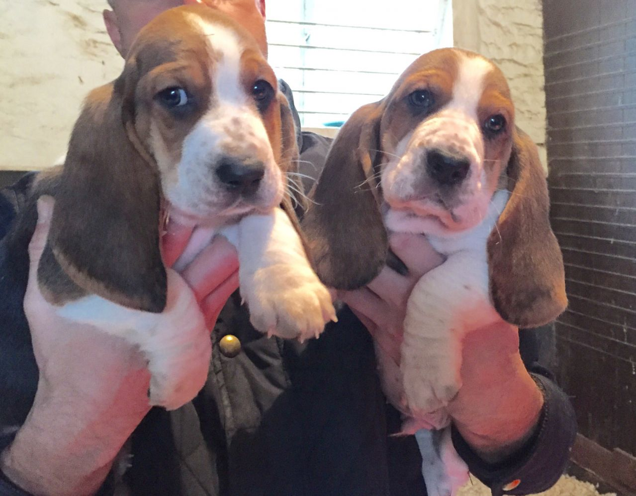 Stunning Quality Basset Hounds