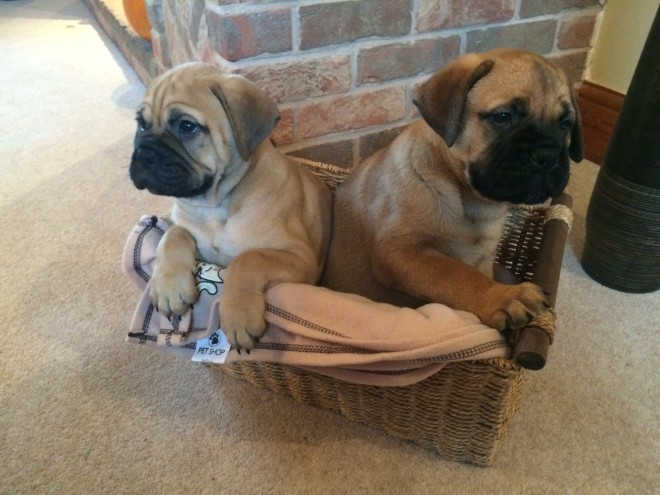 Stunning Chunky Kc Registered Bullmastiff Puppies
