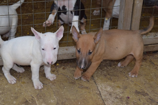 English Bull Terrier Pups