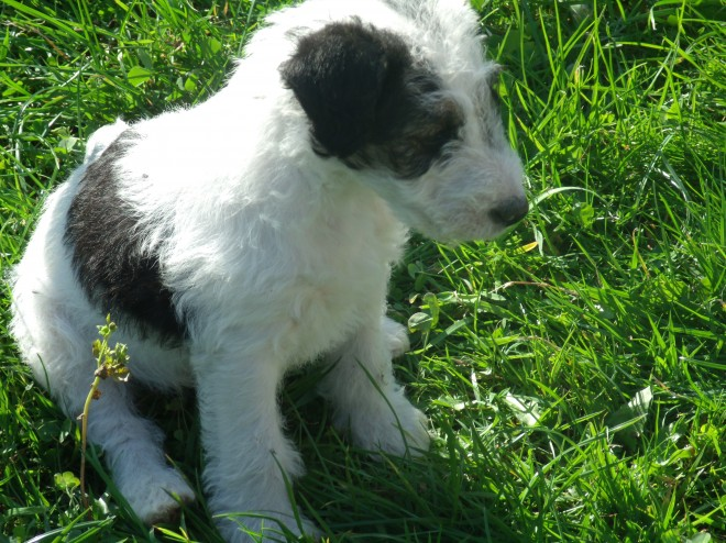 Fox Terriers Pups