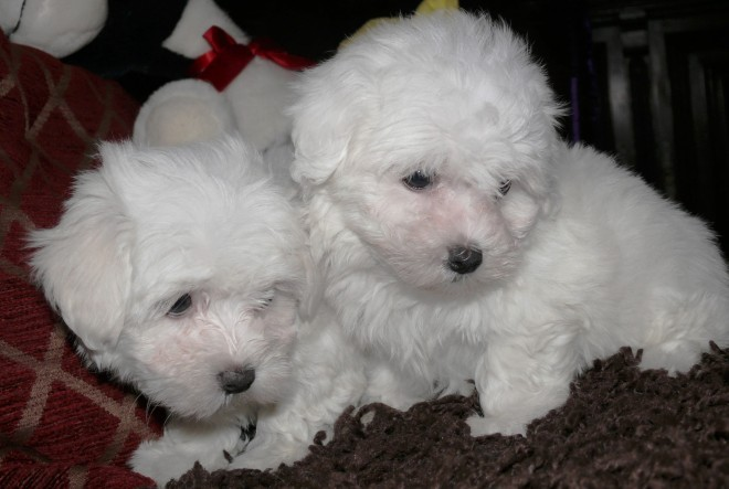 Maltese Terriers Now Ready