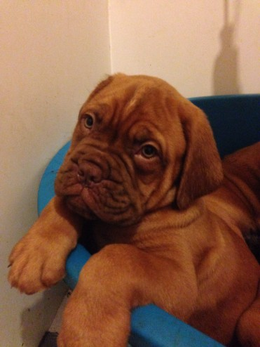 Emberez Kingpin Sh Cm Sired Dogue de Bordeaux Puppies !!!
