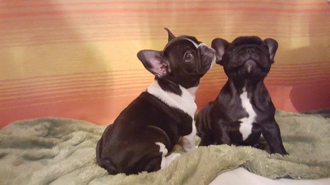 Kc Regiatered French Bulldog Puppies