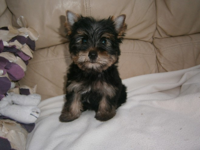Toy Yorkshire Terrier Puppies