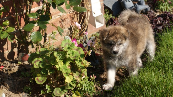 Pure Breed Japanese Akitas For Sale