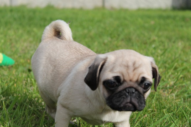 Pure Breed Pug Puppies For Sale