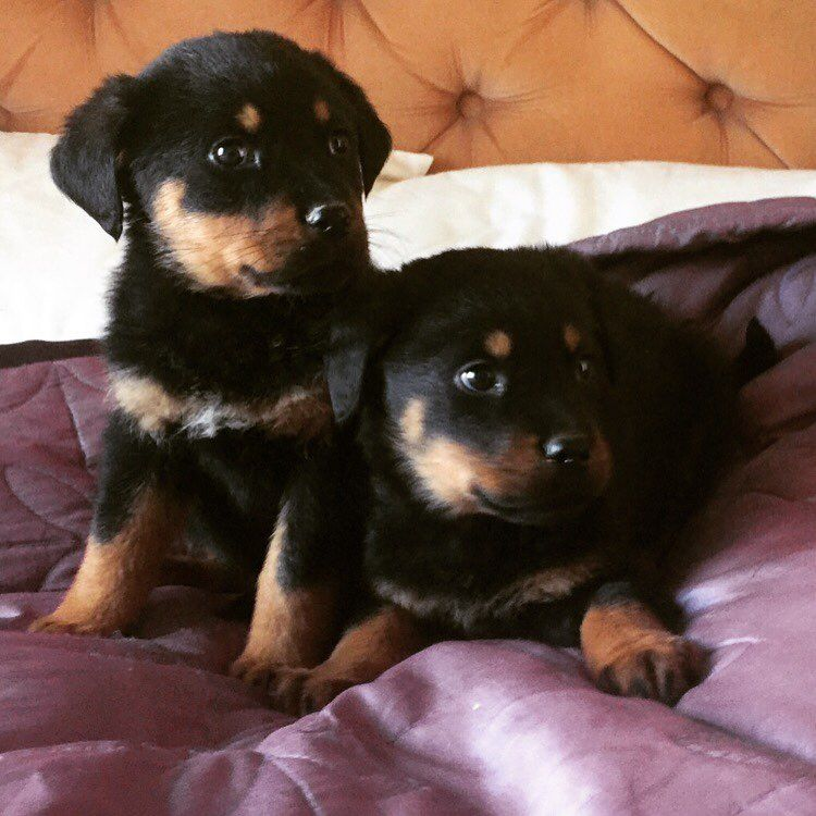 6 Beautiful Rottweiler Puppies For Sale