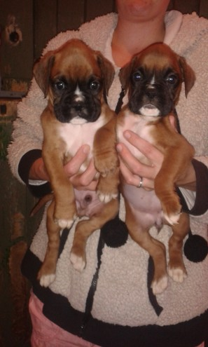 Boxer Pups Boys And Girls Available Kc Registered