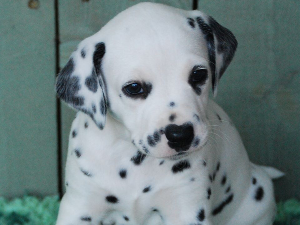 Beautiful Dalmatians