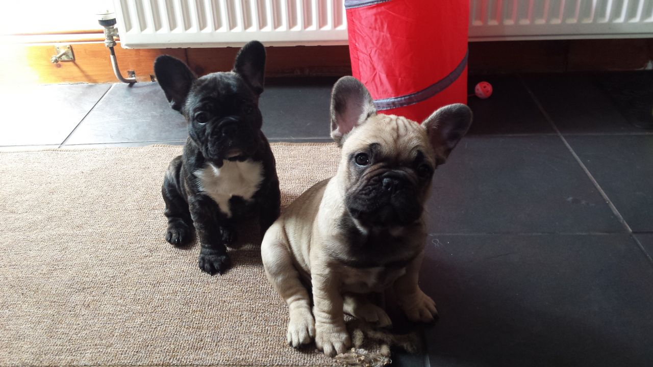 French Bulldog Puppys Ready Now