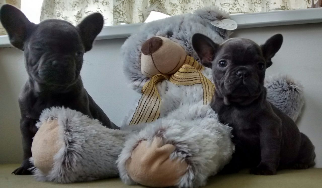 Kc Reg Solid Blue  Frenchie bulldog  Pups Ready Now