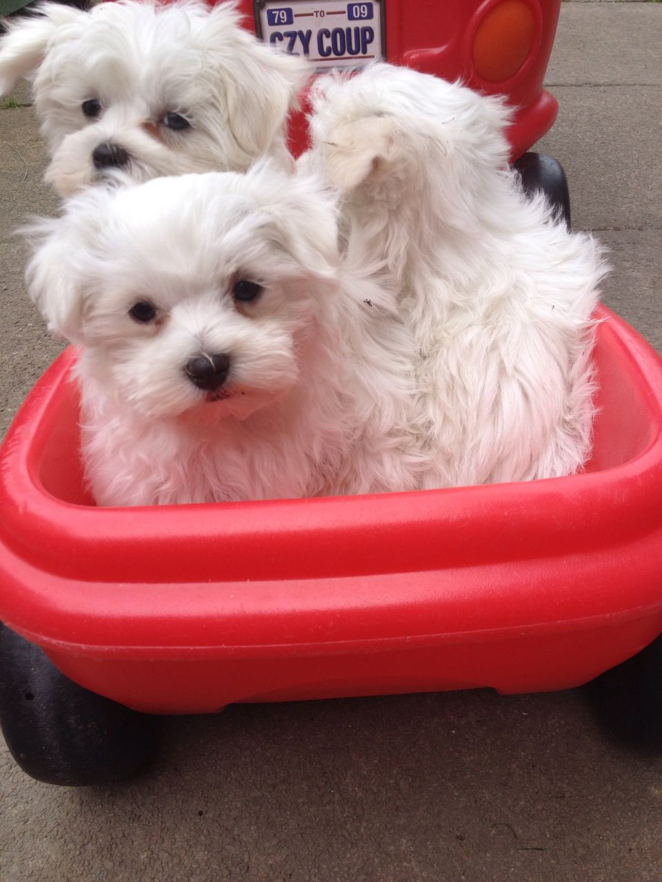 Gorgeous Maltese Puppies Available.
