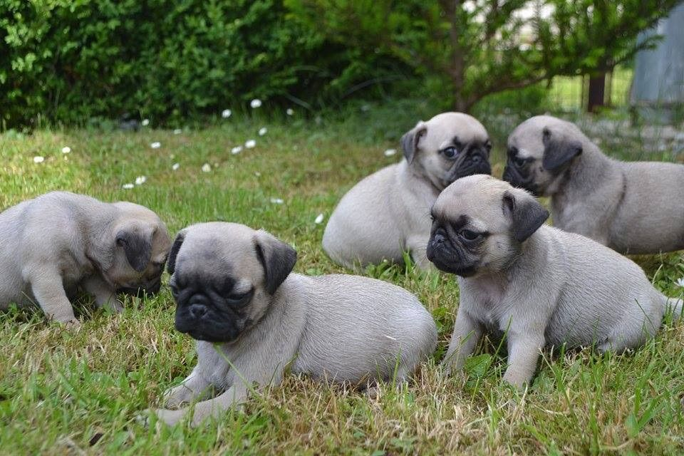 Beautiful Chunky Show Quality Pug Pups For Sale