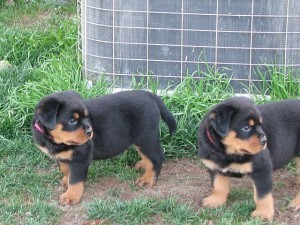 Quality Litter of rottweiler puppies