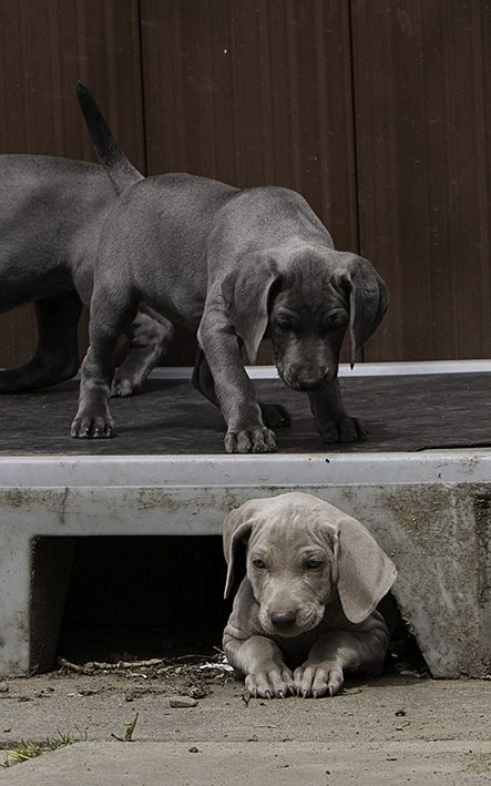 Kc Reg Weimaraner Puppies