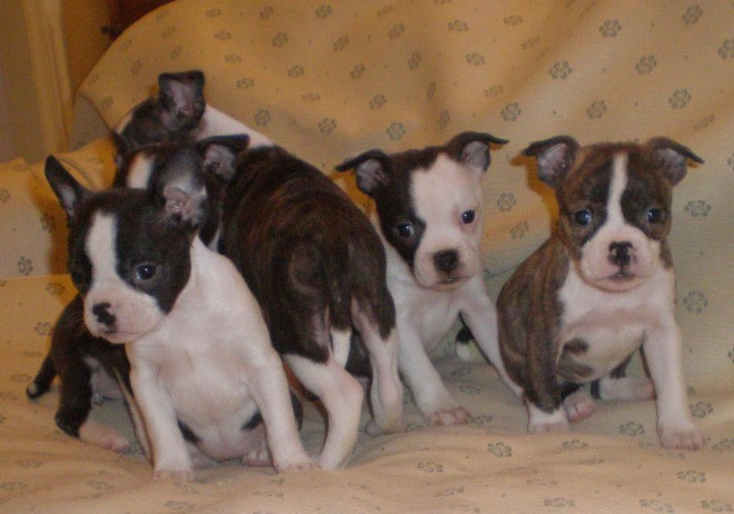 male and female boston terrir for sale