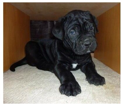 Very Cute Cane Corso Puppies For Sale