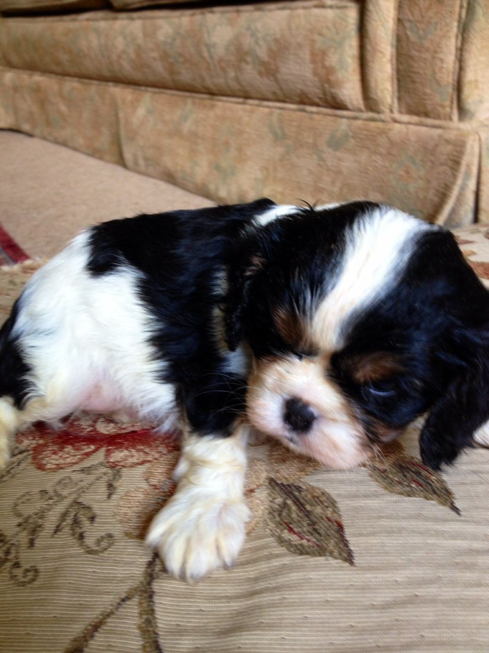 Beauiful Cavalier Puppies For Sale