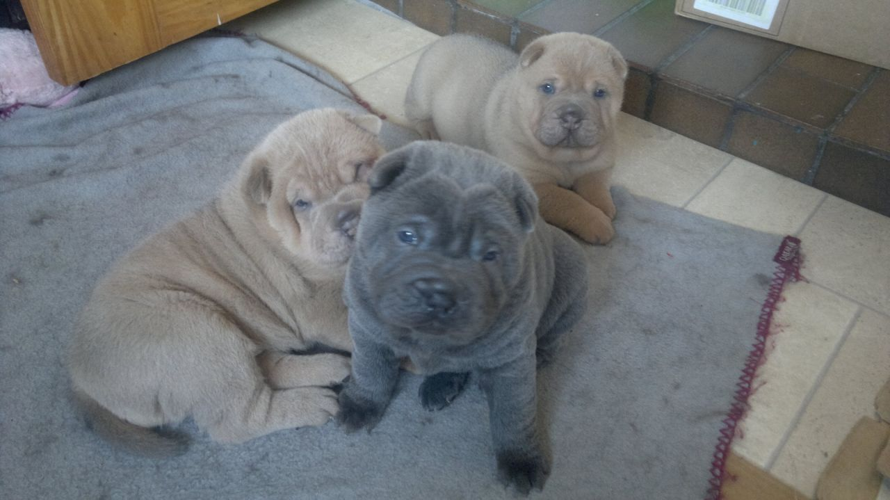 Quality Shar Pei Puppies