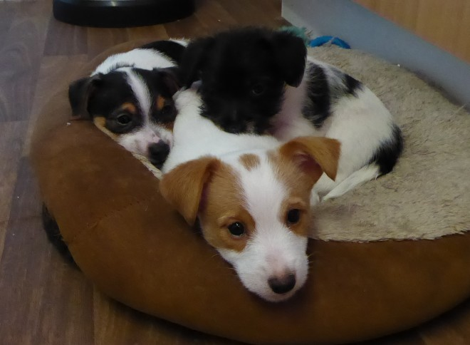 male and female  Tea T Cup Miniature Jack Russell Pups
