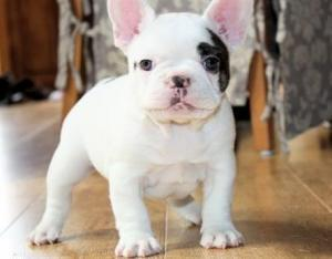 French bulldog puppy looking for a new home
