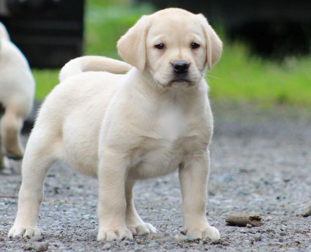 I have 3 Labrador puppies available