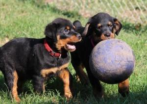 Rottweiler puppies looking for a forever home
