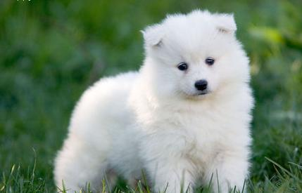 Very Cute samoyed Puppies ready for new homes