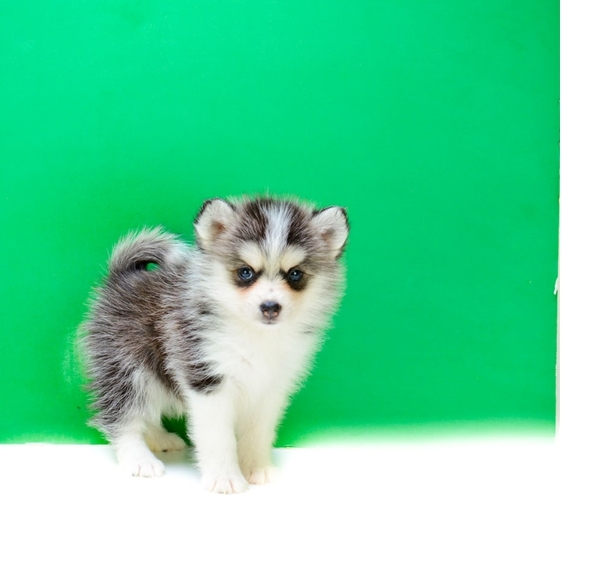 cute and lovely pomsky  Puppies puppies for sale