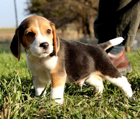 beagle Puppies for sale please contact for more details