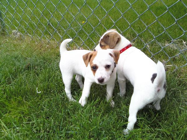 charming jack russell pups ready for a new home.