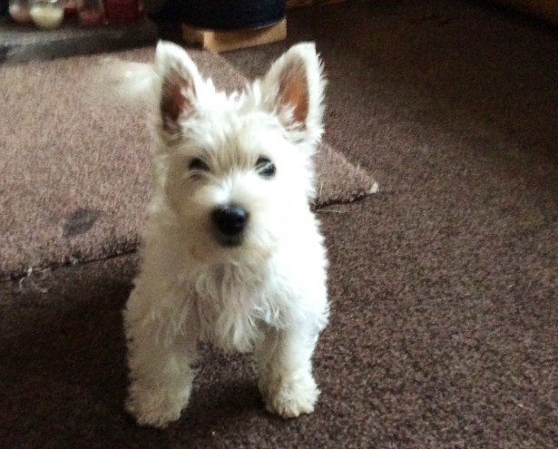 male and female  Down bush West Highland Terriers