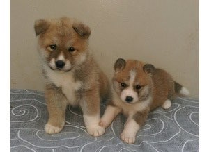Beautiful Chunky Akita Puppies