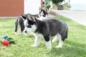 Awesome Siberian Husky Puppies,