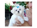 female Maltese available for adoption.