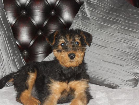 Amazing Airedale Terrier puppies