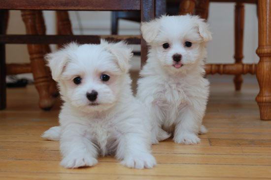 Males and Females Maltese available
