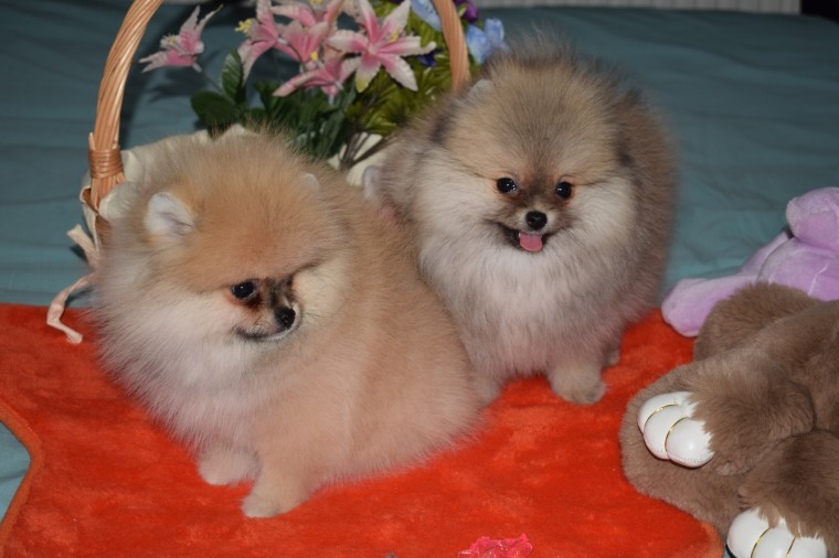 Beautiful K.c Reg Parti Pomeranian