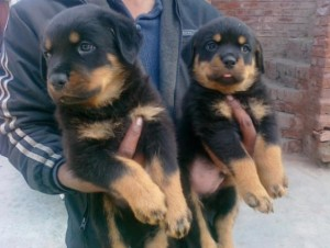11 Weeks Old Rottweiler Available