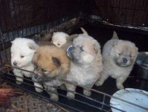 Chow Chow Puppies Available for Adoption