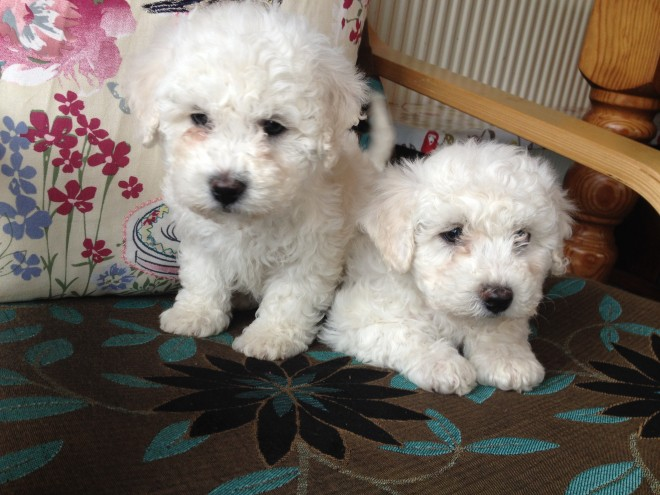 Adorable Bichon Frise Female Puppy