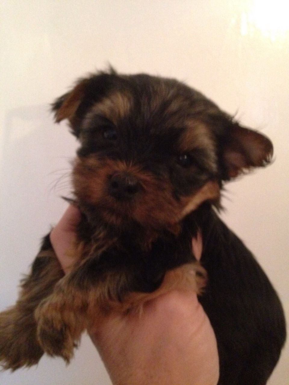 Kc Reg Stunning Yorkie Puppies(pedigree)