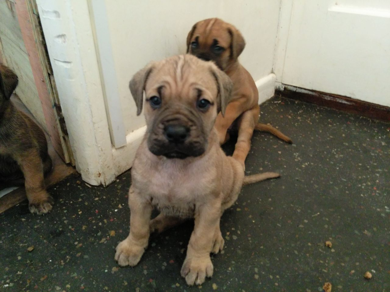 Black And Blue Cane Corso Puppies
